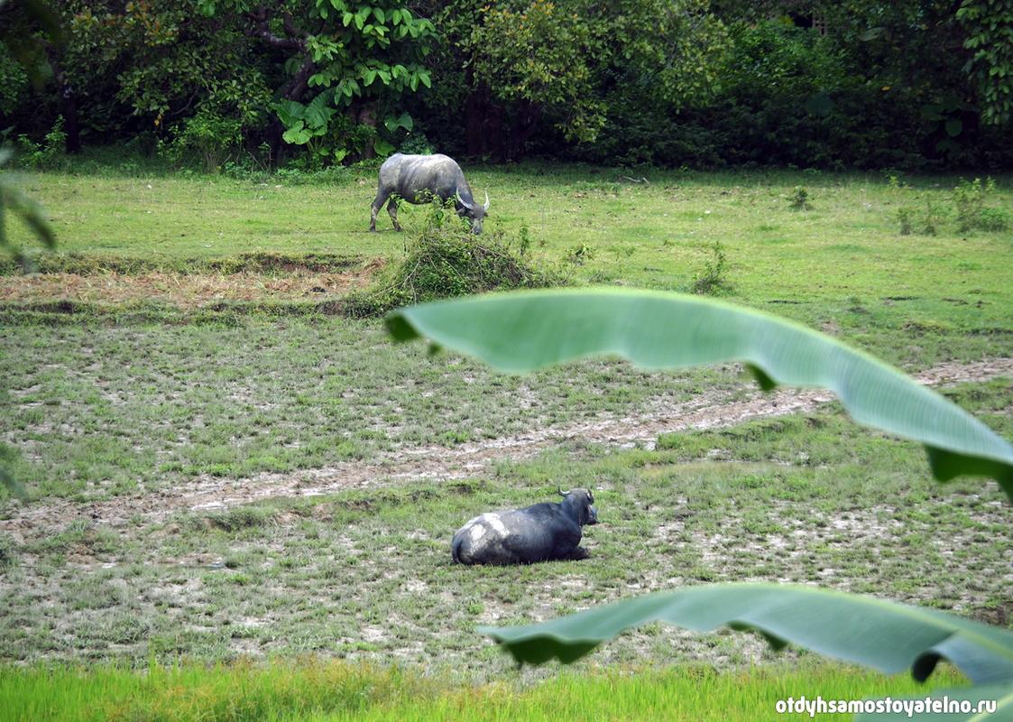 буйволы на полях на филиппинах