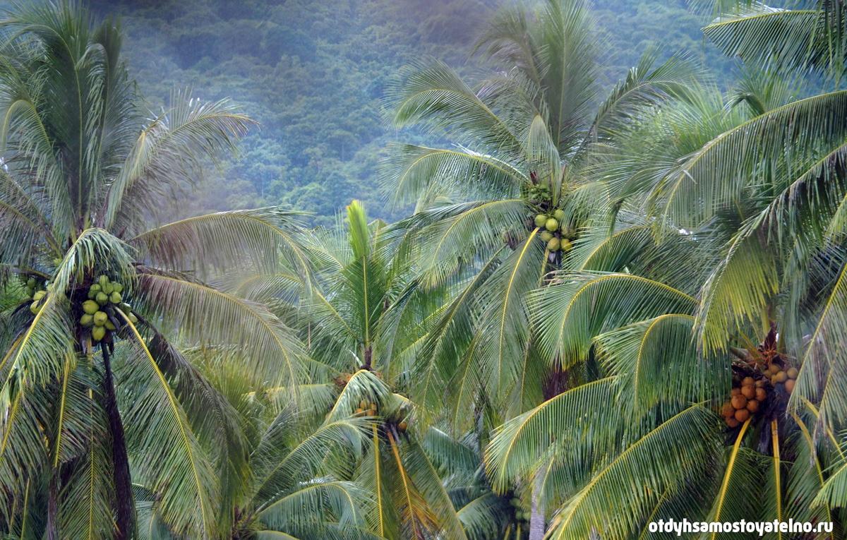 фотография пальм с кокосами