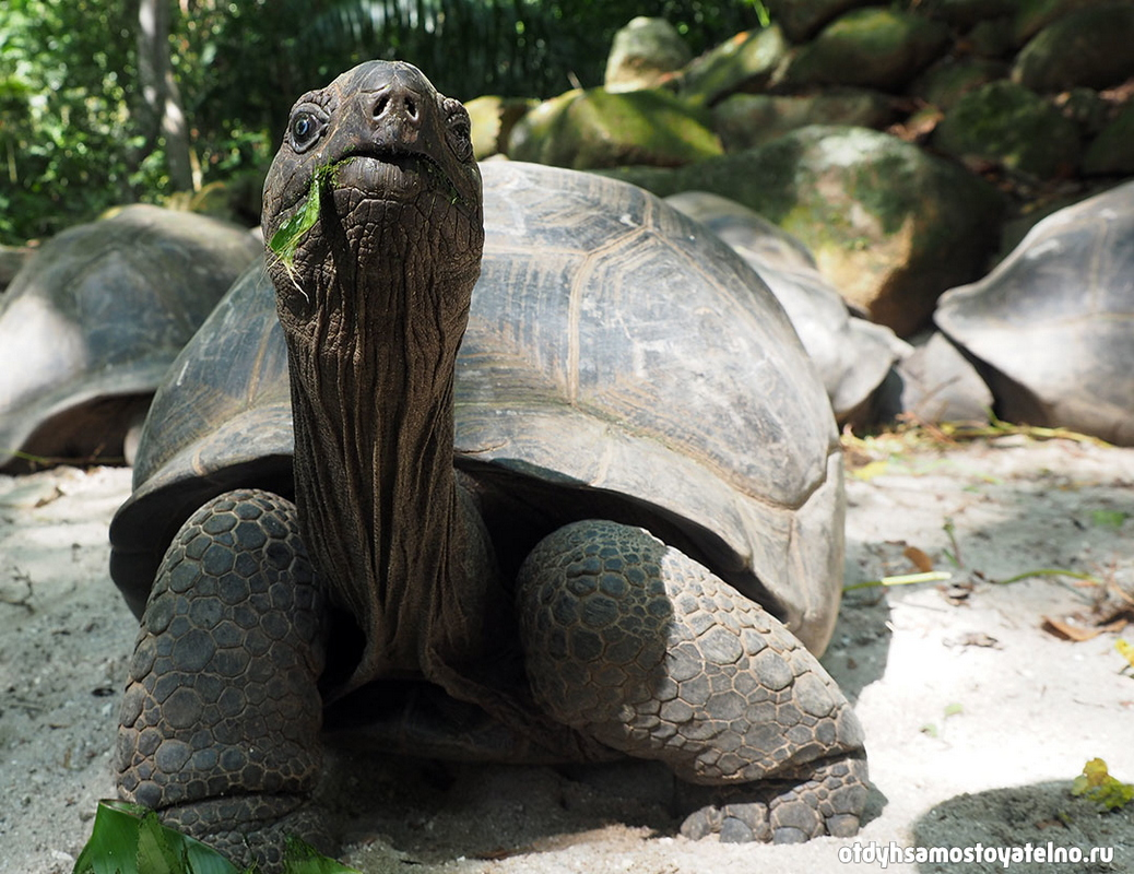 черепаха Альдабра сейшелы