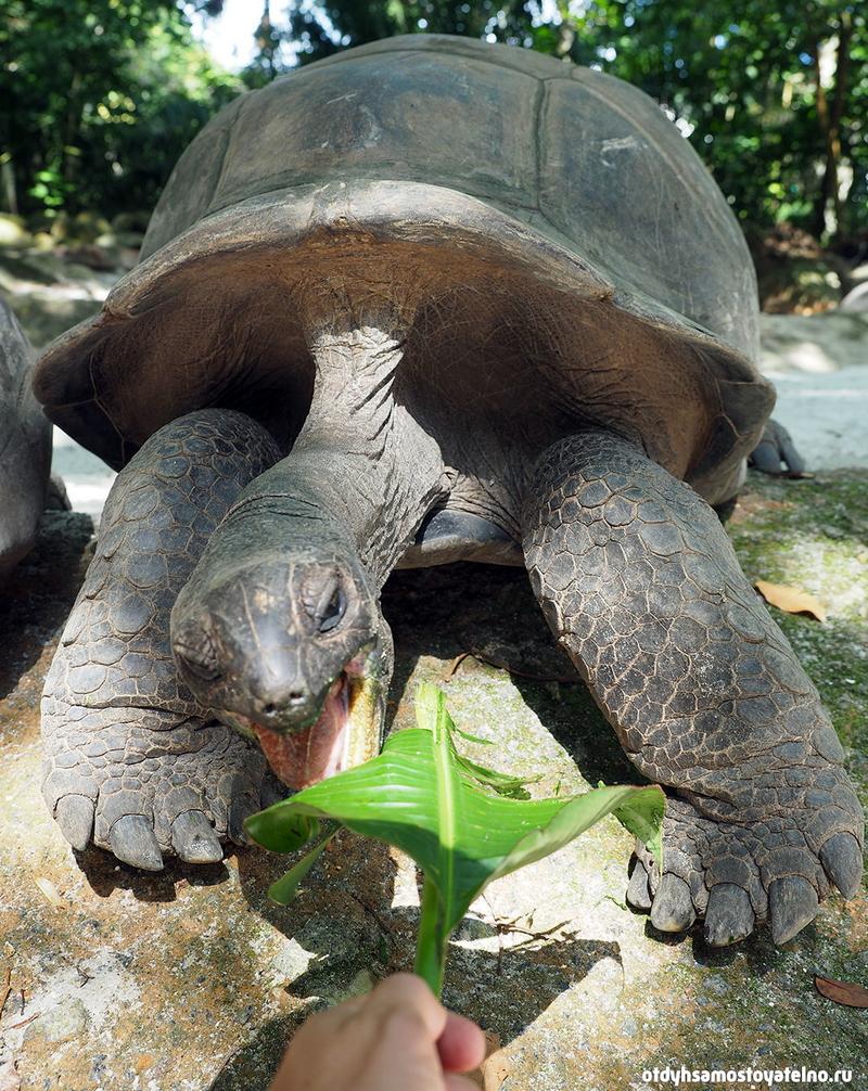 черепаха сейшелы