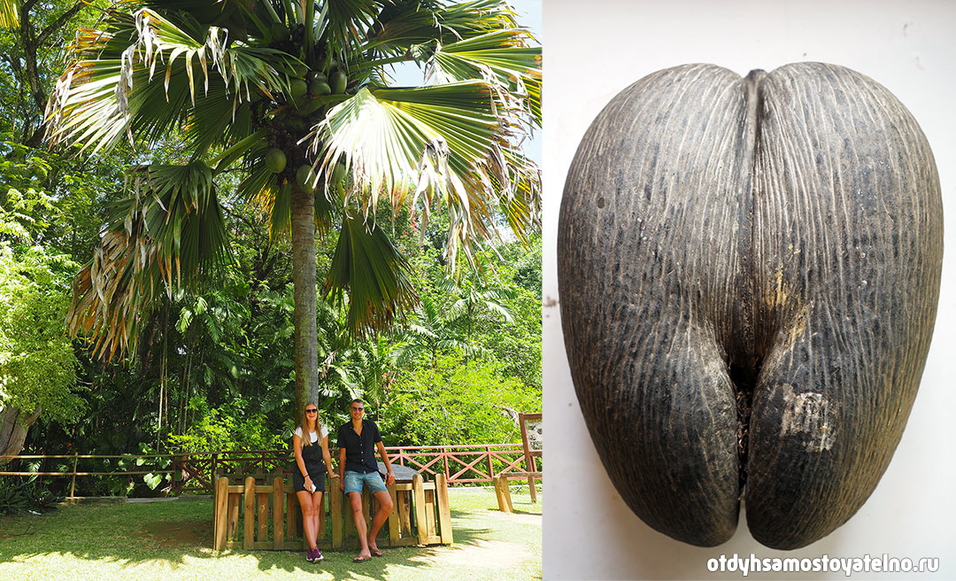 пальма Коко-де-мер