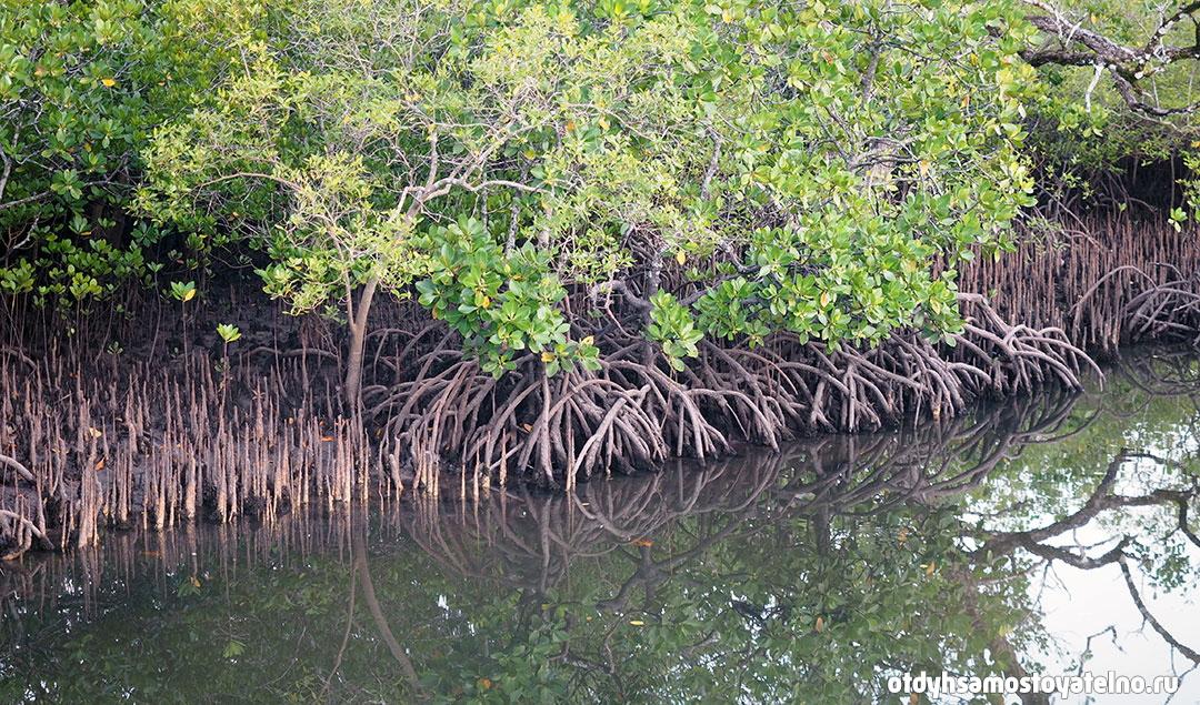 мангровые леса на сейшельских островах