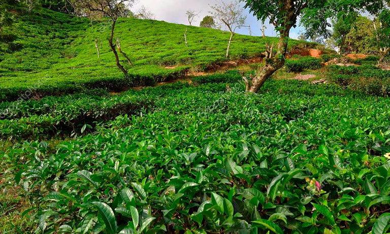 сейшелы tea factory